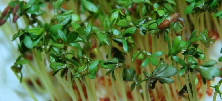 Rzeżucha – zdrowie i uroda po zimie.