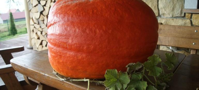 Dynia – cenne warzywo św.Hildegardy