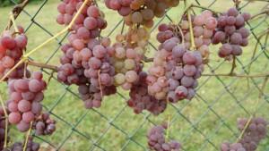 nasze winogrona 2018